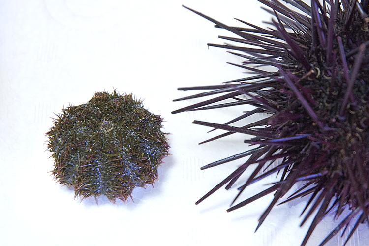 紫ウニと馬糞ウニの比較図