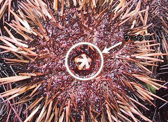 ウニの画像 p1_20